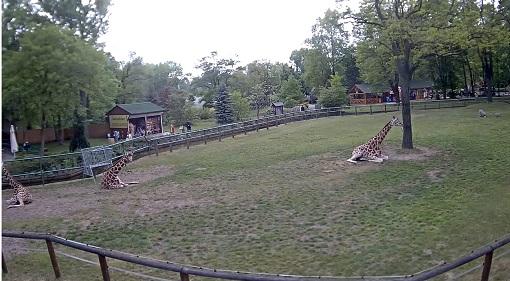 Żyrafy Rothschilda - Łódź
