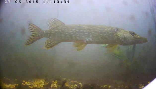 Ryby w jeziorze - Olsztyn